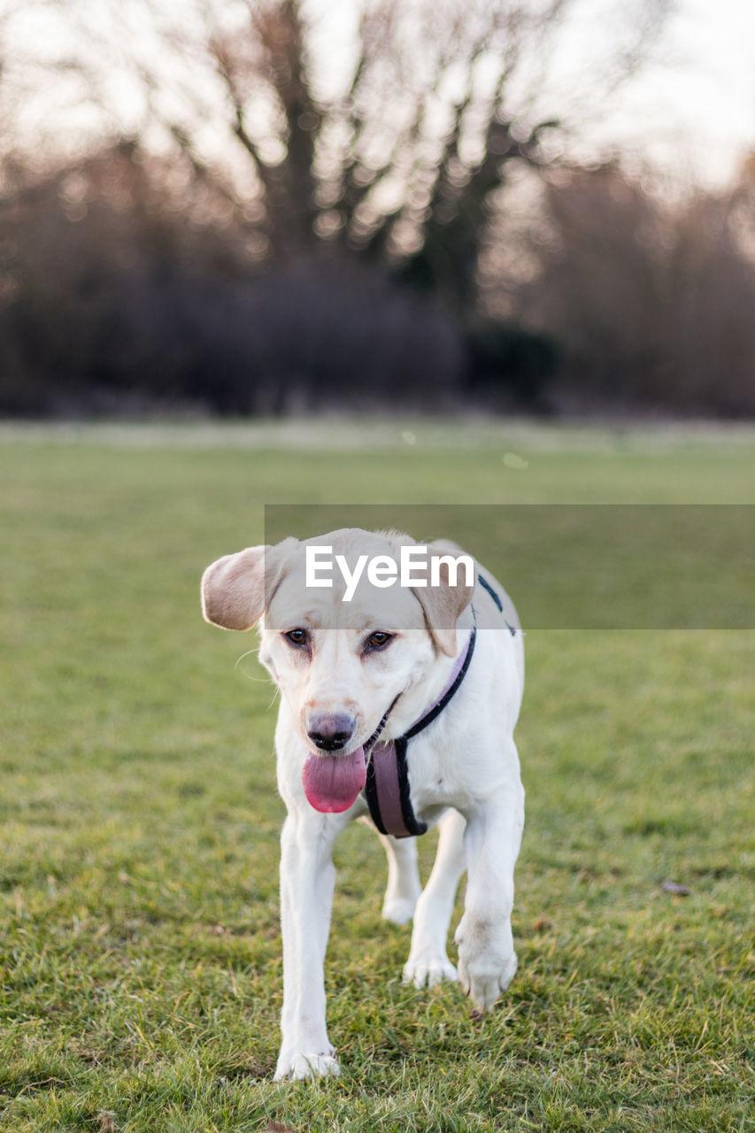 Portrait Of Dog Walking On Grassy Field