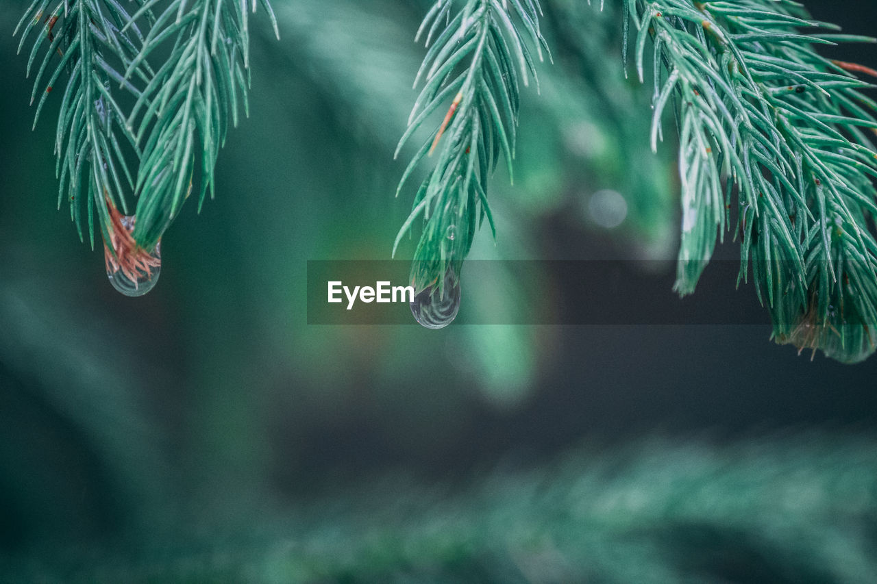 plant, growth, green color, drop, water, beauty in nature, close-up, leaf, nature, no people, selective focus, plant part, tree, pine tree, wet, focus on foreground, day, needle - plant part, coniferous tree, outdoors, rainy season, rain, raindrop, purity, dew, turquoise colored
