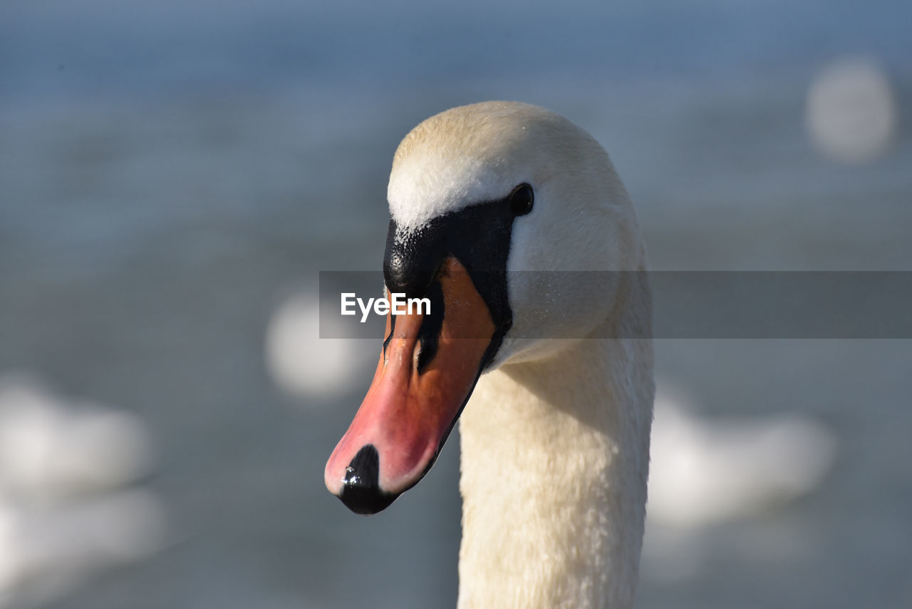 animals in the wild, animal wildlife, animal, animal themes, bird, vertebrate, one animal, swan, focus on foreground, close-up, beak, animal body part, water, day, nature, no people, lake, water bird, zoology, mute swan, animal head, animal neck, animal eye