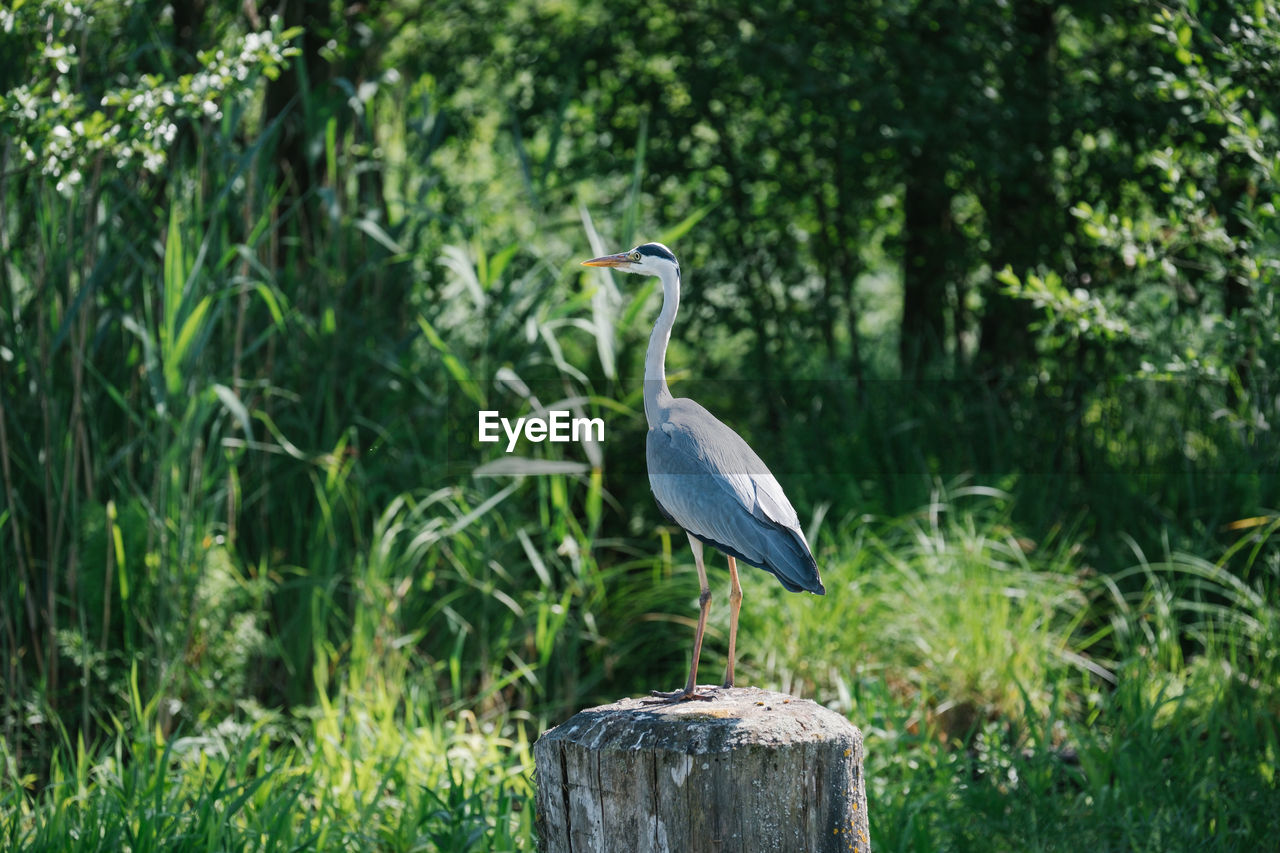 bird, animal themes, animal wildlife, vertebrate, animals in the wild, animal, one animal, perching, plant, focus on foreground, post, tree, no people, heron, wooden post, nature, day, growth, wood - material, green color, outdoors, beak
