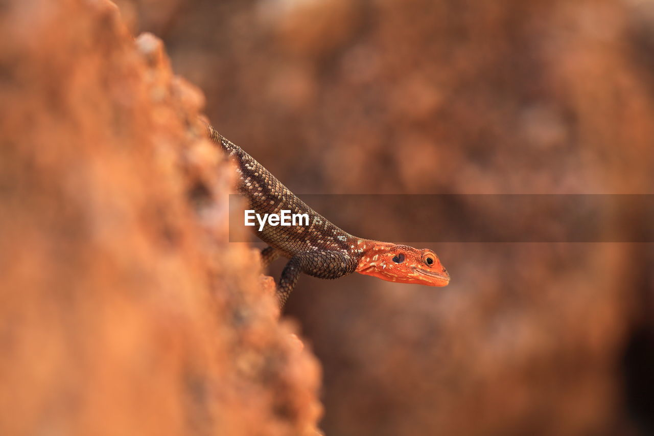 Close-Up Of Red-Headed Rock Agama