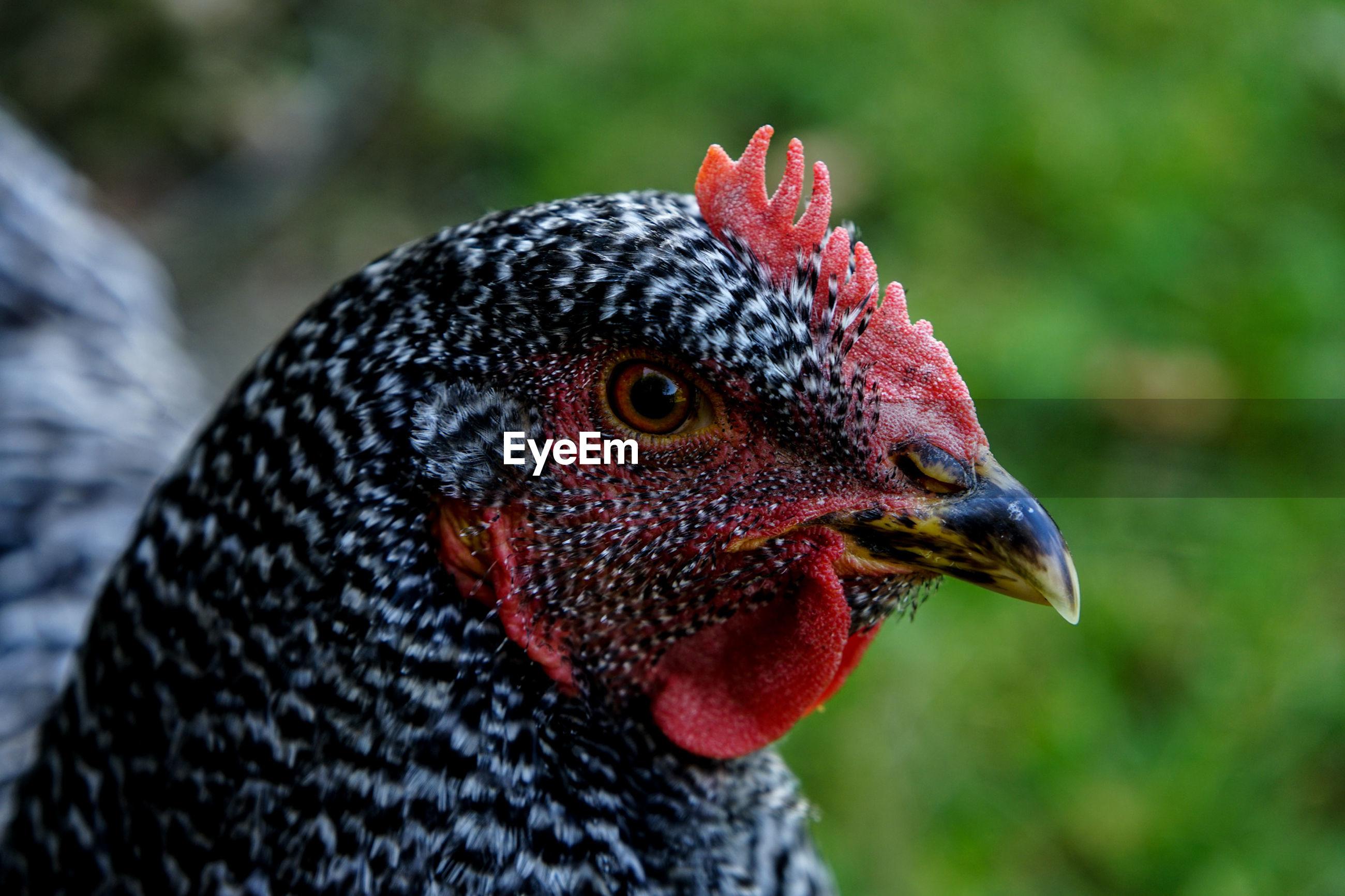 Close-up of hen