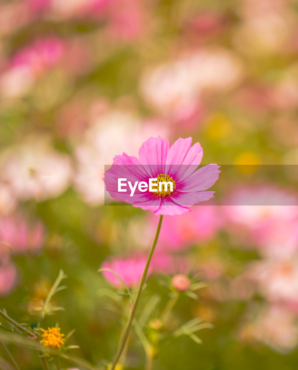 flower, flowering plant, plant, freshness, pink color, beauty in nature, petal, fragility, vulnerability, flower head, close-up, inflorescence, growth, focus on foreground, nature, cosmos flower, no people, field, day, outdoors, pollen