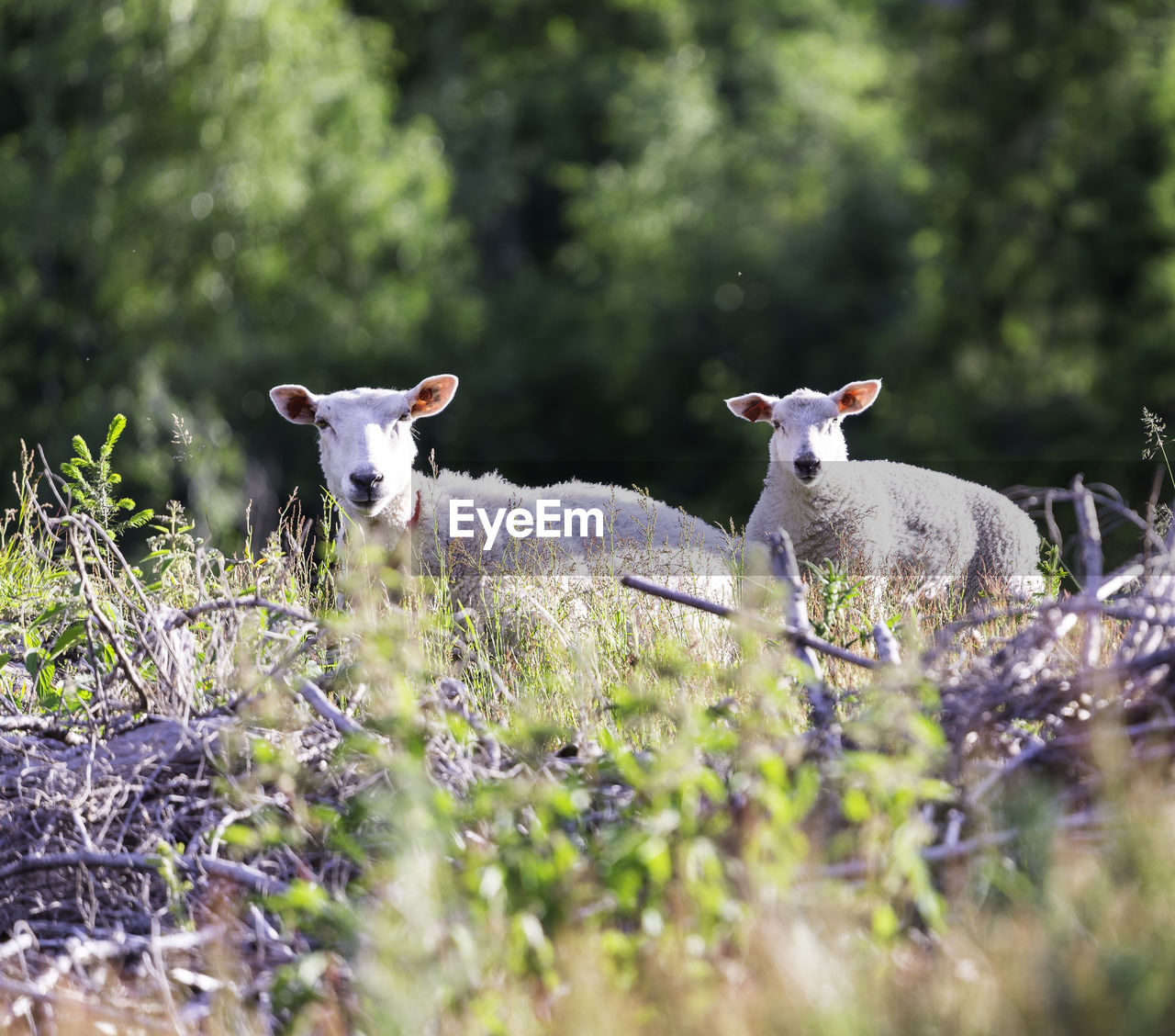 mammal, domestic animals, plant, group of animals, domestic, animal, livestock, animal themes, selective focus, land, pets, sheep, field, nature, vertebrate, no people, grass, day, growth, two animals, lamb, herbivorous, outdoors