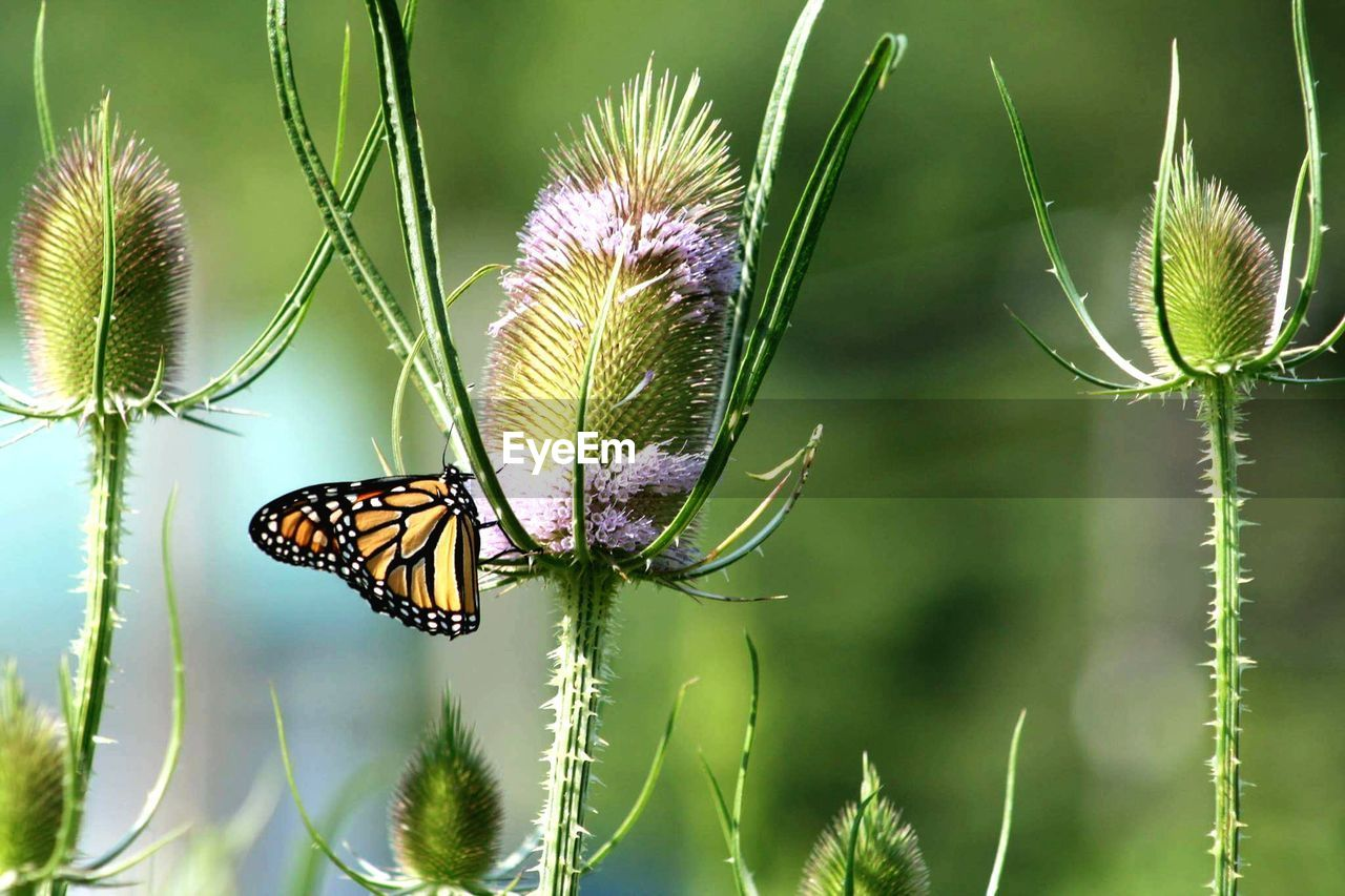 insect, plant, nature, animals in the wild, no people, animal themes, butterfly - insect, focus on foreground, close-up, beauty in nature, day, fragility, one animal, outdoors, growth, flower, freshness, thistle