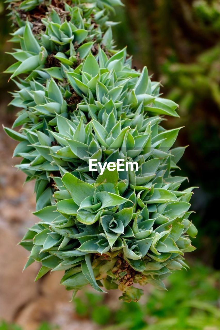 green color, growth, beauty in nature, focus on foreground, plant, succulent plant, close-up, no people, nature, day, cactus, freshness, natural pattern, outdoors, leaf, land, tranquility, plant part, pattern, sharp, spiky