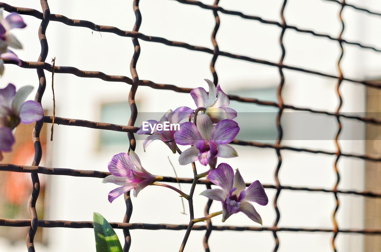 flower, flowering plant, plant, beauty in nature, fragility, petal, vulnerability, close-up, growth, freshness, no people, purple, pink color, focus on foreground, flower head, nature, inflorescence, day, selective focus, fence, outdoors, springtime