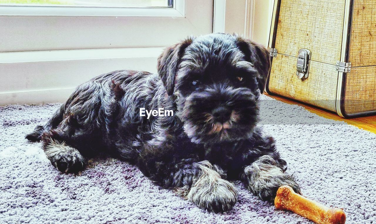 mammal, animal themes, domestic, pets, domestic animals, animal, one animal, dog, vertebrate, canine, relaxation, young animal, indoors, no people, home interior, puppy, rug, cute, small, shih tzu