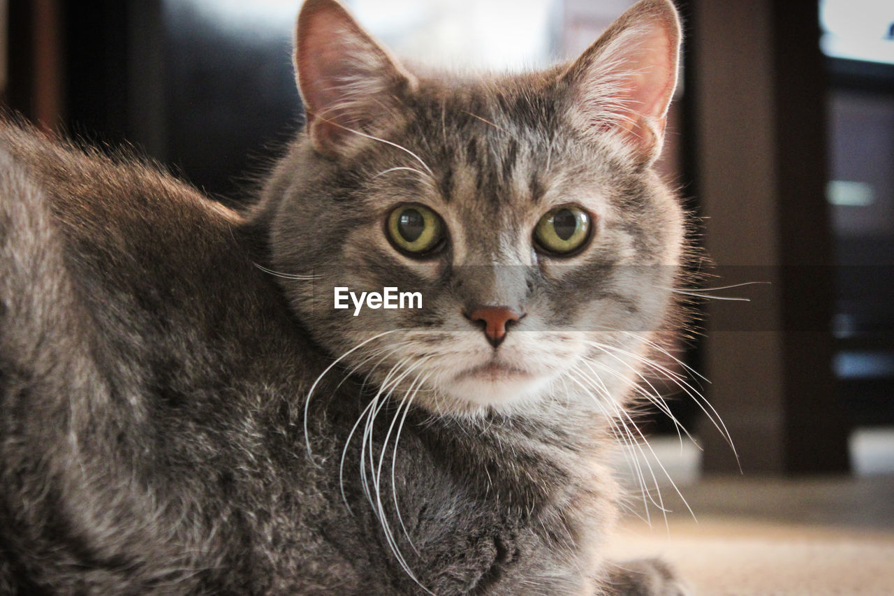 Ozzy Animal Animal Head  Animal Themes Cat Close-up Day Domestic Domestic Animals Domestic Cat Feline Focus On Foreground Indoors  Looking Looking At Camera Mammal No People One Animal Pets Portrait Tabby Cat Table Vertebrate Whisker