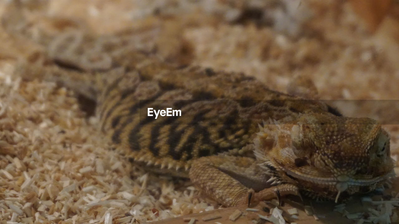 animal wildlife, animal, animals in the wild, animal themes, one animal, close-up, reptile, no people, vertebrate, lizard, selective focus, indoors, animal body part, brown, focus on foreground, nature, textured, bearded dragon, pattern, marine