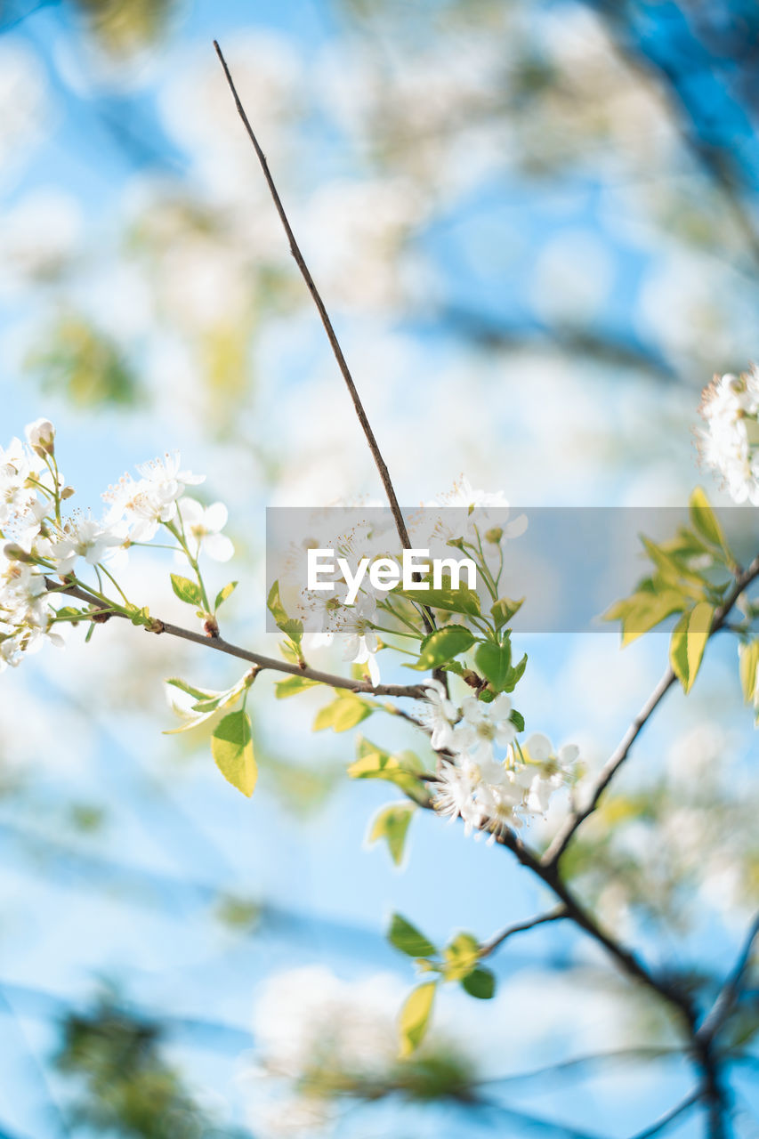 plant, flower, flowering plant, fragility, vulnerability, growth, beauty in nature, freshness, tree, day, close-up, nature, focus on foreground, no people, low angle view, white color, branch, blossom, selective focus, springtime, outdoors, flower head, cherry blossom