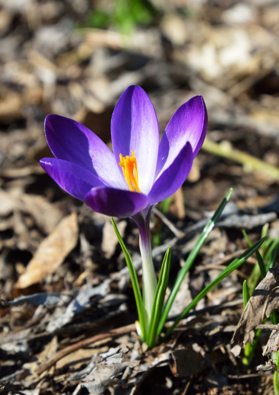 flowering plant, flower, beauty in nature, petal, fragility, plant, vulnerability, freshness, growth, close-up, iris, flower head, inflorescence, crocus, no people, nature, field, day, land, purple, pollen