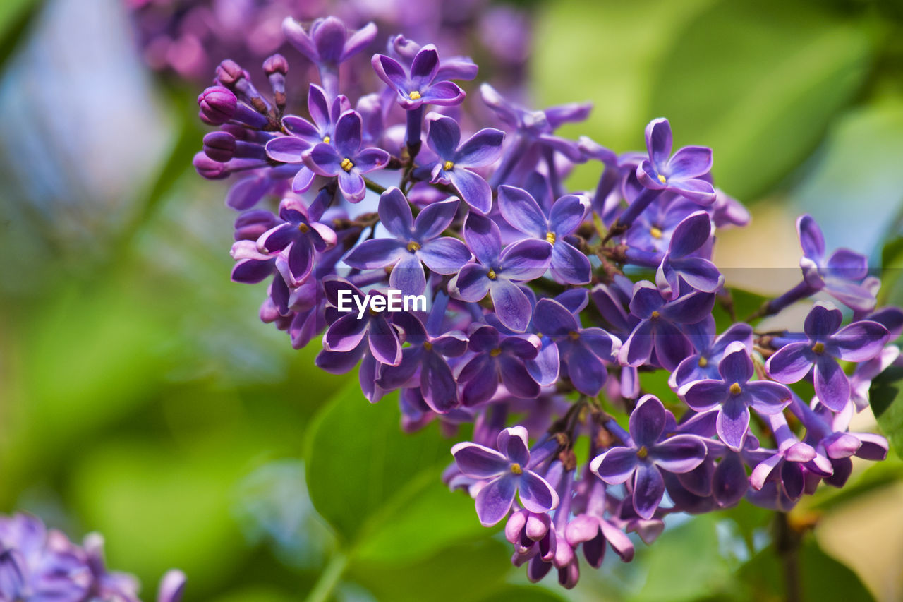 flower, flowering plant, plant, beauty in nature, purple, vulnerability, freshness, petal, fragility, close-up, growth, flower head, inflorescence, nature, day, focus on foreground, lilac, botany, selective focus, no people, springtime, bunch of flowers