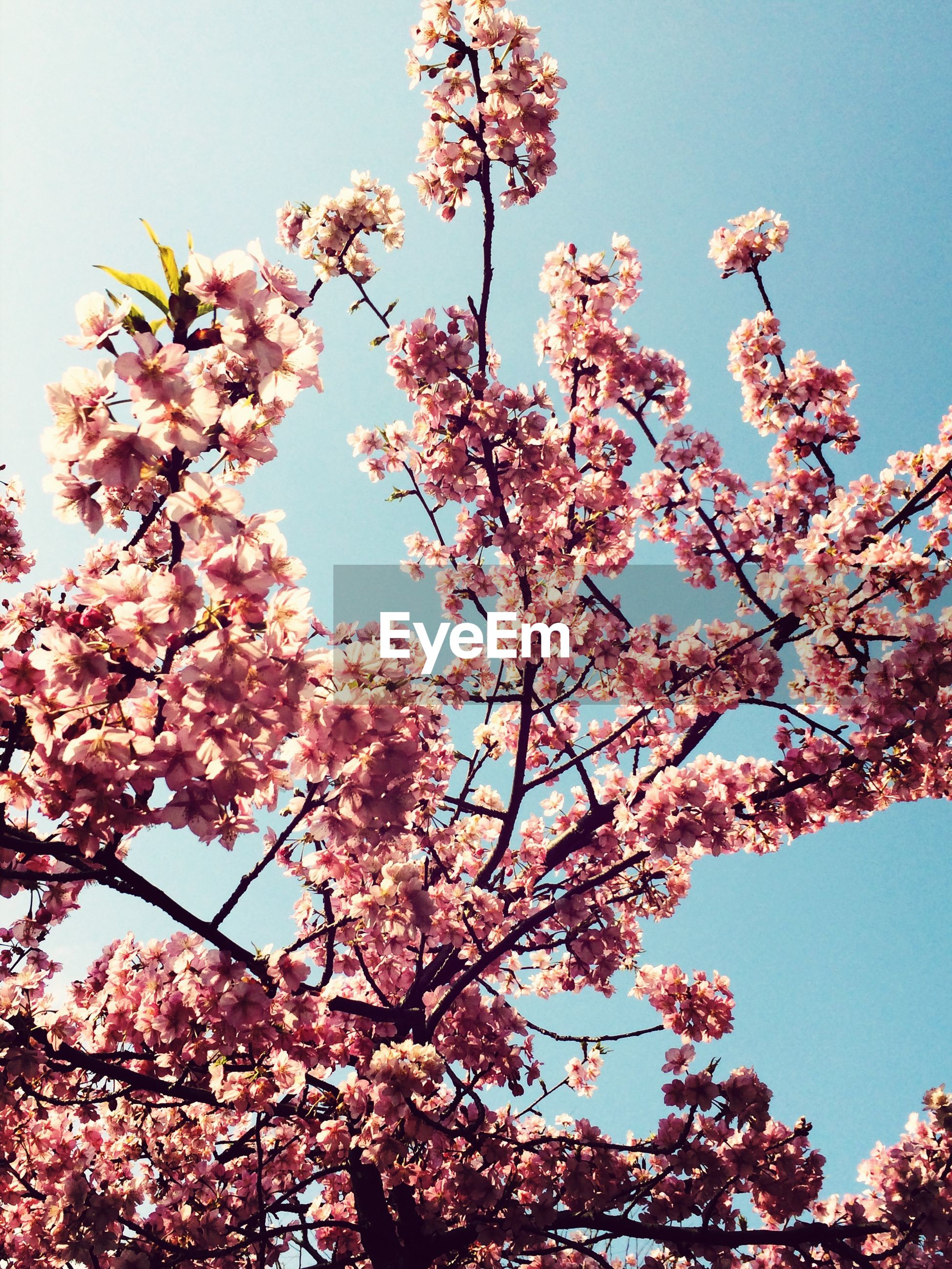 flower, low angle view, branch, tree, freshness, growth, clear sky, blossom, beauty in nature, fragility, cherry blossom, cherry tree, nature, fruit tree, in bloom, pink color, blooming, springtime, sky, orchard