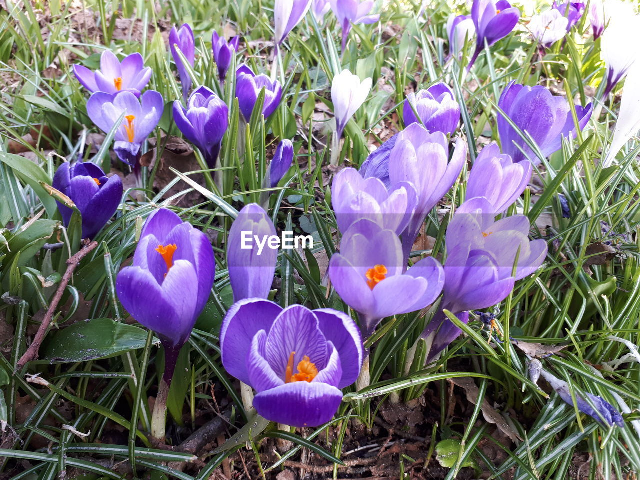 flowering plant, flower, plant, petal, vulnerability, fragility, beauty in nature, freshness, growth, purple, crocus, iris, close-up, inflorescence, flower head, land, field, nature, no people, day, outdoors, springtime, flowerbed