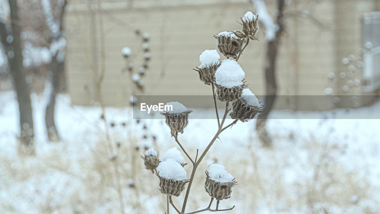 nature, focus on foreground, cold temperature, winter, snow, no people, day, beauty in nature, tree, growth, outdoors, plant, dried plant, close-up