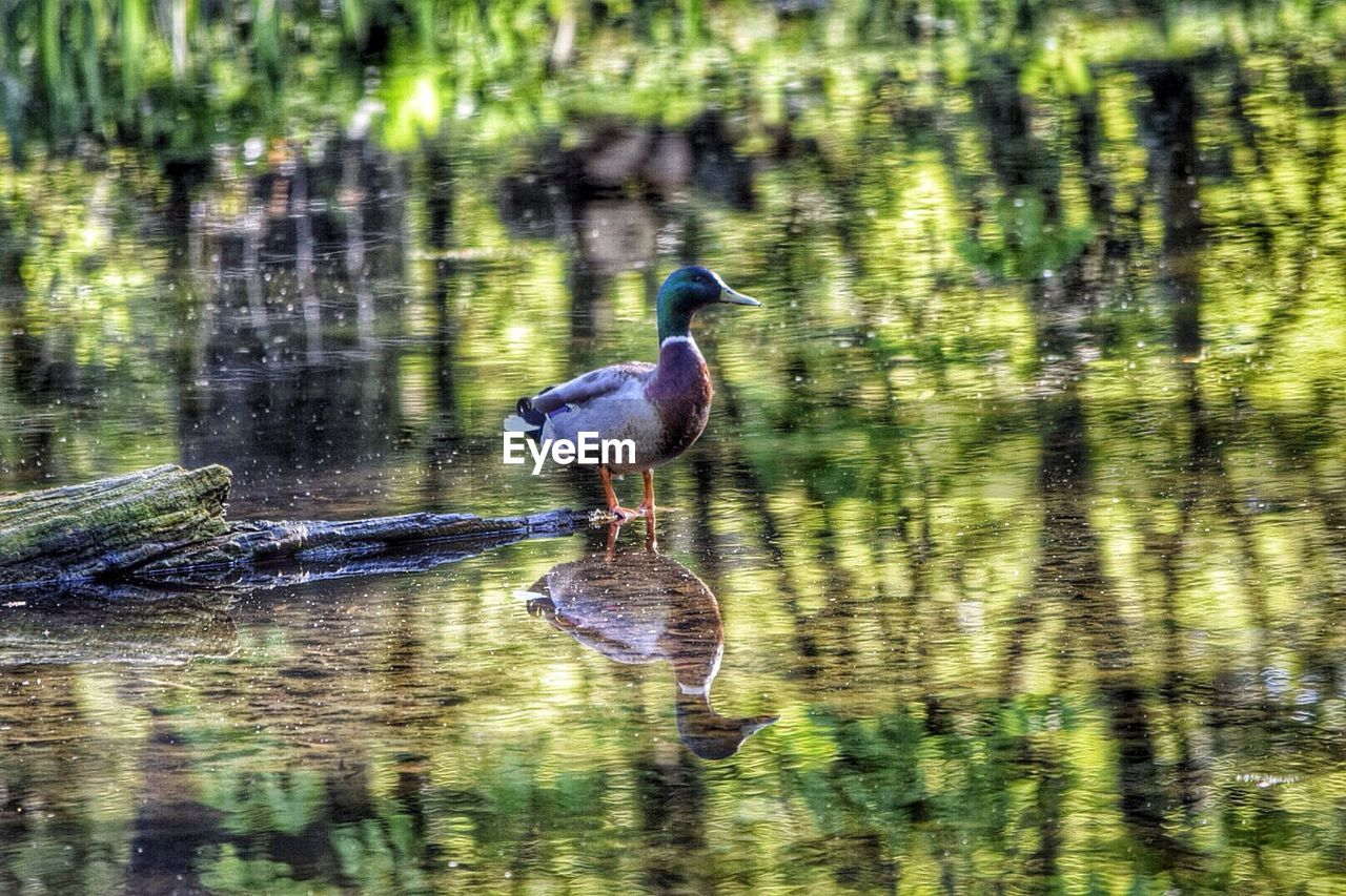 Duck Standing In Pond