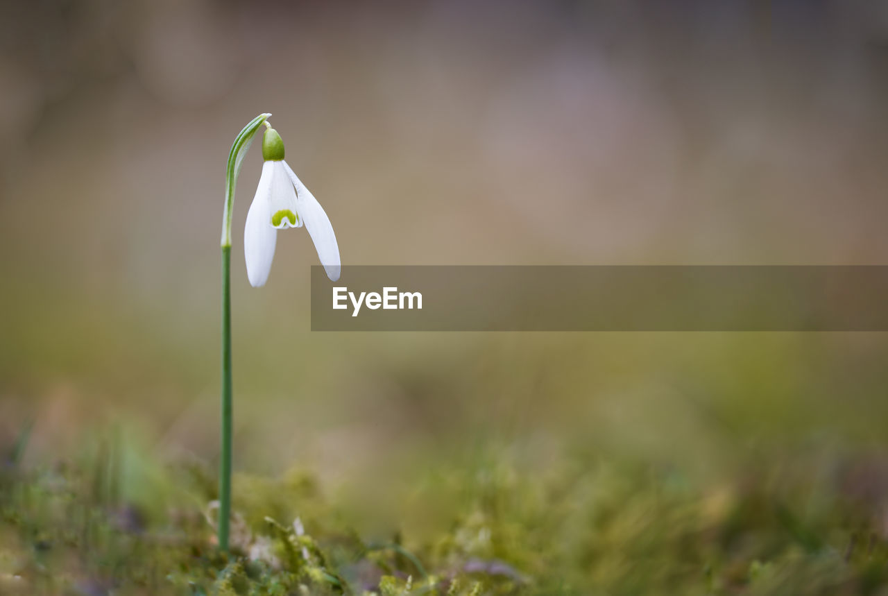 plant, growth, flowering plant, beauty in nature, vulnerability, flower, fragility, close-up, petal, selective focus, snowdrop, nature, inflorescence, freshness, flower head, white color, land, field, day, no people, outdoors