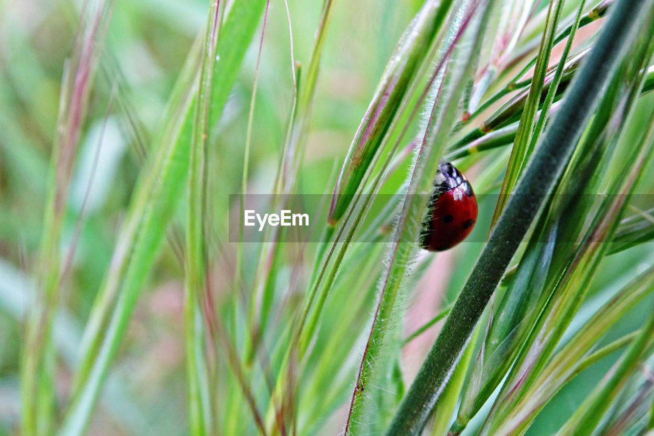 plant, green color, animal themes, animal, growth, animals in the wild, animal wildlife, ladybug, one animal, beetle, nature, close-up, invertebrate, no people, day, insect, grass, red, focus on foreground, beauty in nature, outdoors, blade of grass
