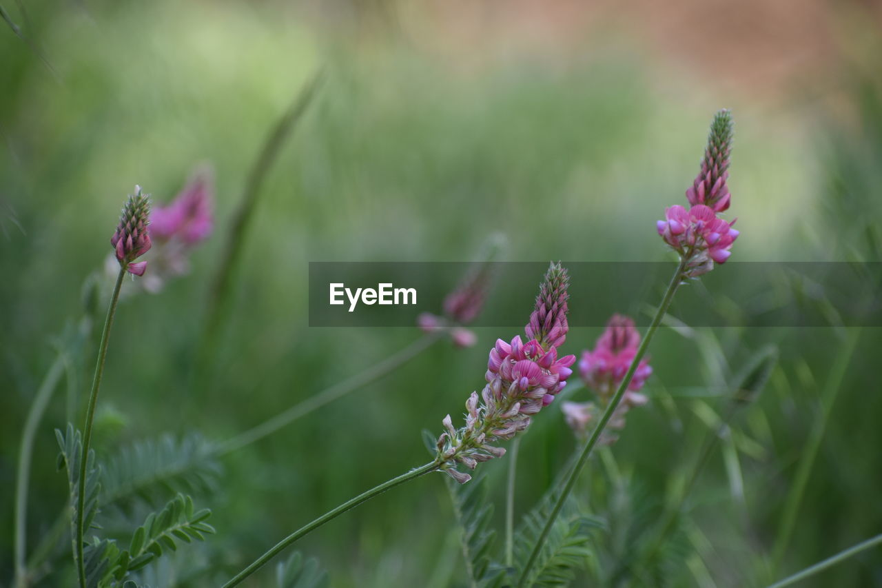 flower, flowering plant, plant, growth, fragility, beauty in nature, freshness, vulnerability, close-up, nature, petal, pink color, land, focus on foreground, flower head, field, inflorescence, no people, selective focus, purple, outdoors