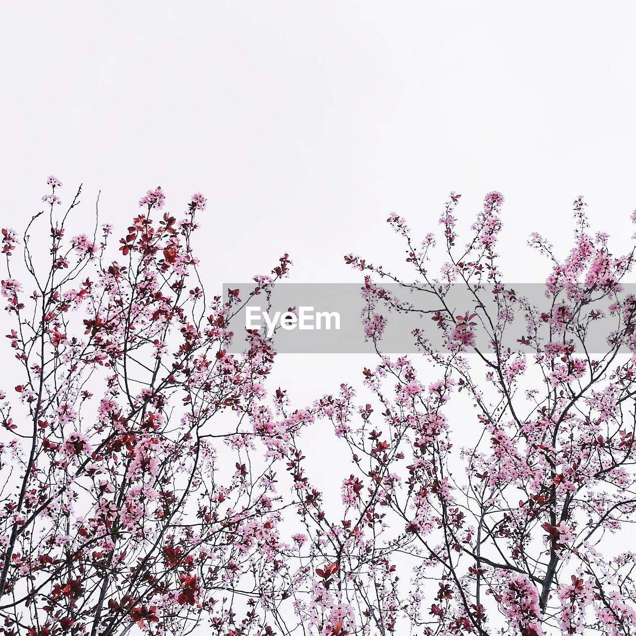 plant, sky, low angle view, tree, beauty in nature, growth, flower, branch, flowering plant, clear sky, nature, no people, day, tranquility, blossom, copy space, pink color, springtime, freshness, fragility, outdoors, cherry blossom, cherry tree, spring
