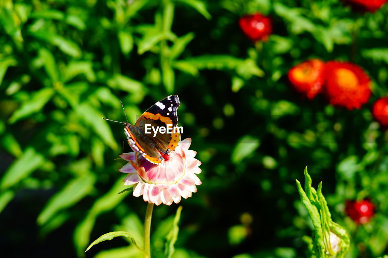 flower, animal themes, flowering plant, animal, animal wildlife, one animal, invertebrate, insect, plant, animals in the wild, beauty in nature, vulnerability, fragility, petal, flower head, freshness, close-up, growth, pollination, focus on foreground, animal wing, no people, butterfly - insect, outdoors, pollen, butterfly