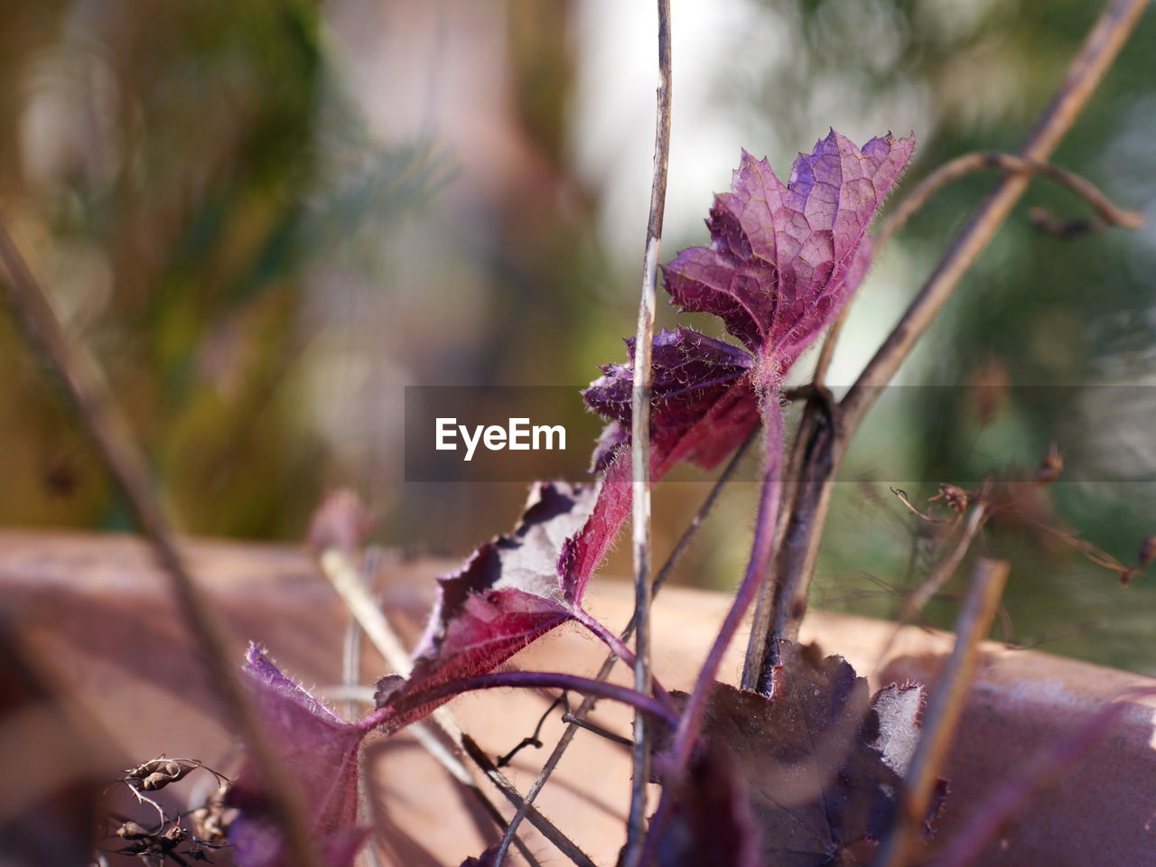 plant, growth, close-up, beauty in nature, nature, flower, flowering plant, fragility, vulnerability, focus on foreground, no people, day, plant part, selective focus, freshness, leaf, outdoors, purple, dry, plant stem