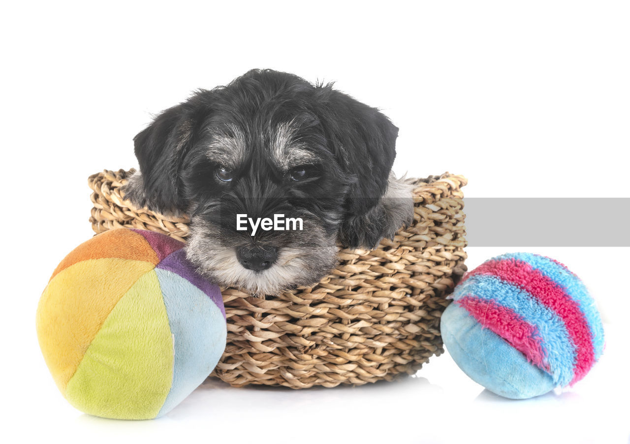 Close-up of dog in basket over white background