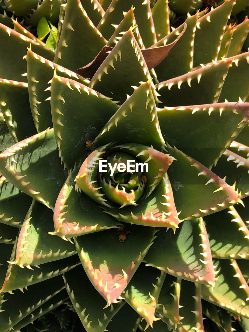 growth, green color, cactus, plant, thorn, nature, leaf, spiked, no people, outdoors, close-up, aloe vera plant, directly above, beauty in nature, day, freshness