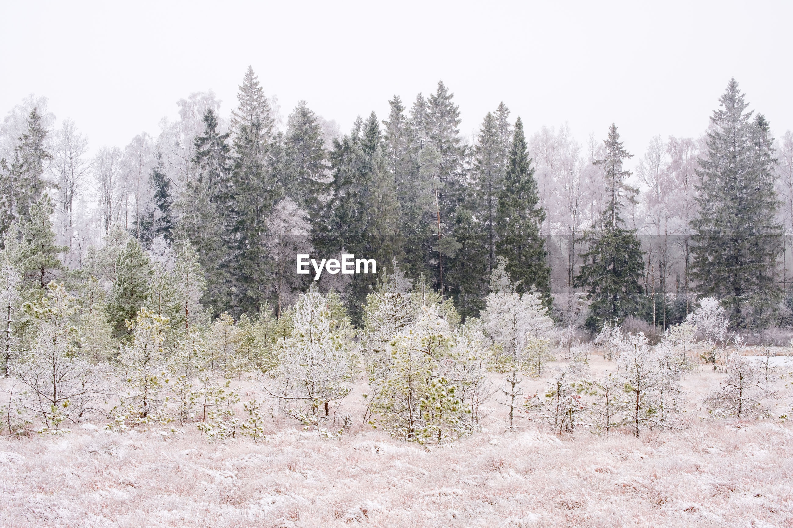 VIEW OF PINE TREES IN SNOW