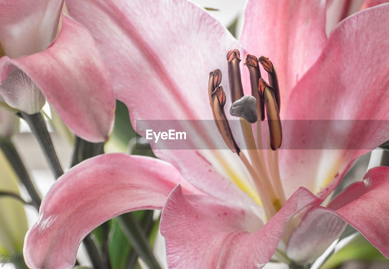 flower, flowering plant, petal, pink color, plant, fragility, beauty in nature, vulnerability, growth, freshness, close-up, inflorescence, flower head, pollen, no people, nature, day, stamen, botany, lily, outdoors, springtime