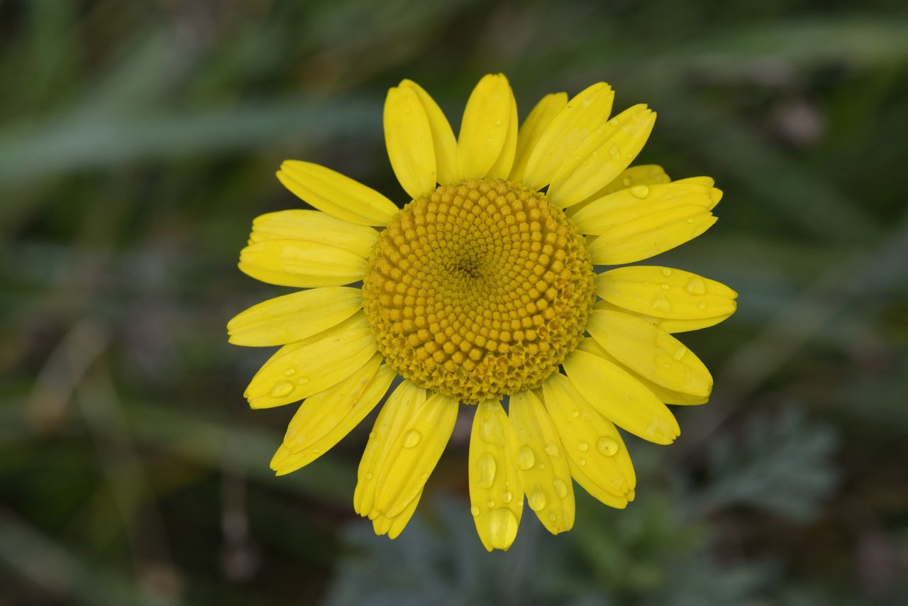 yellow, flower, flowering plant, flower head, petal, inflorescence, vulnerability, fragility, beauty in nature, freshness, plant, growth, close-up, pollen, focus on foreground, day, nature, no people, outdoors, gazania