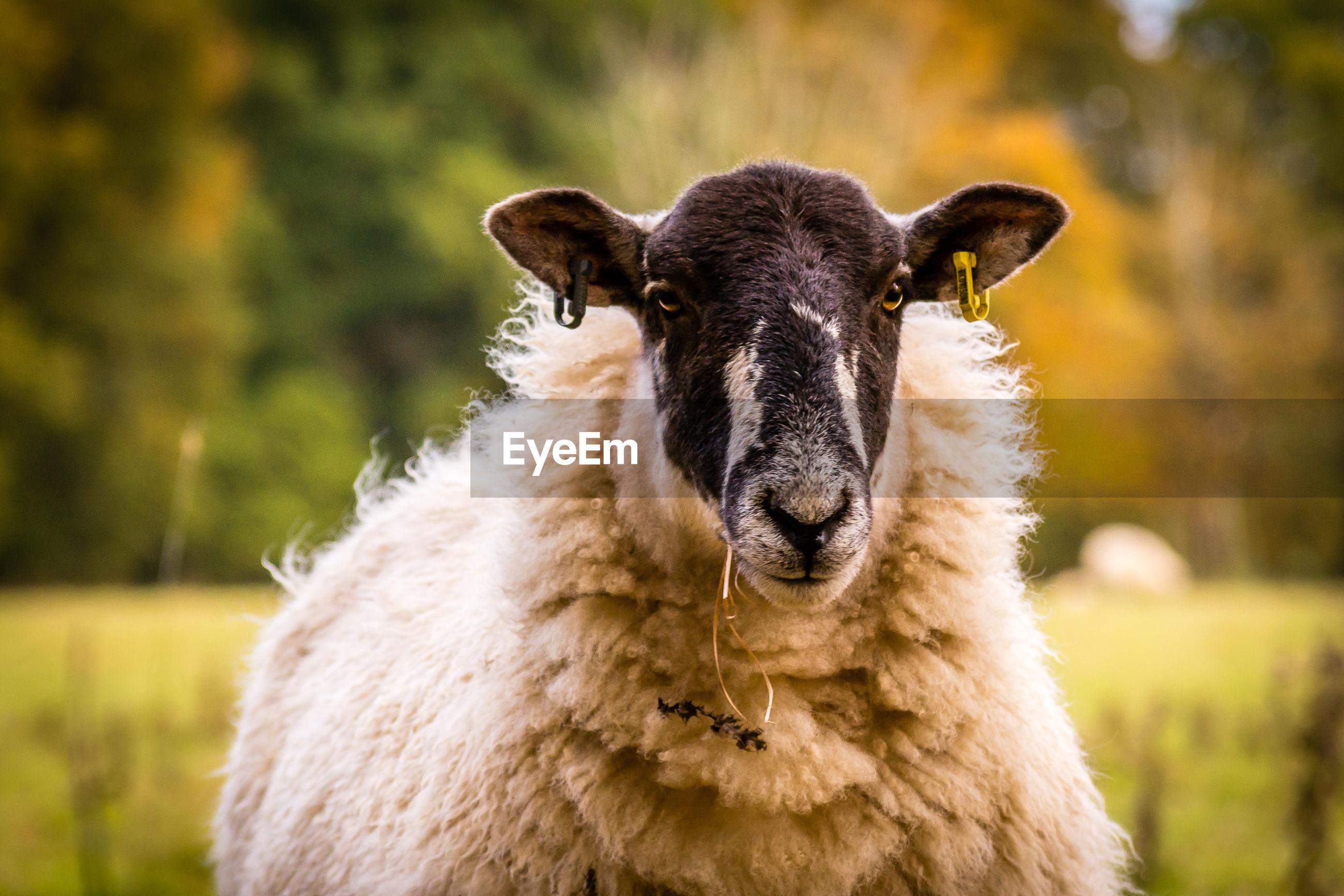 Close-up portrait of a sheep