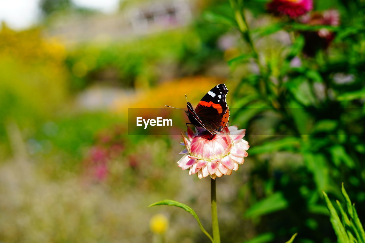 flower, flowering plant, plant, beauty in nature, animals in the wild, insect, animal wildlife, animal themes, one animal, invertebrate, animal, freshness, vulnerability, fragility, growth, petal, flower head, close-up, animal wing, butterfly - insect, pollination, no people, outdoors, butterfly