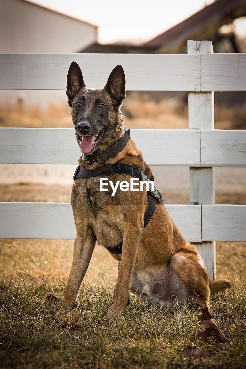 Police dog looking away