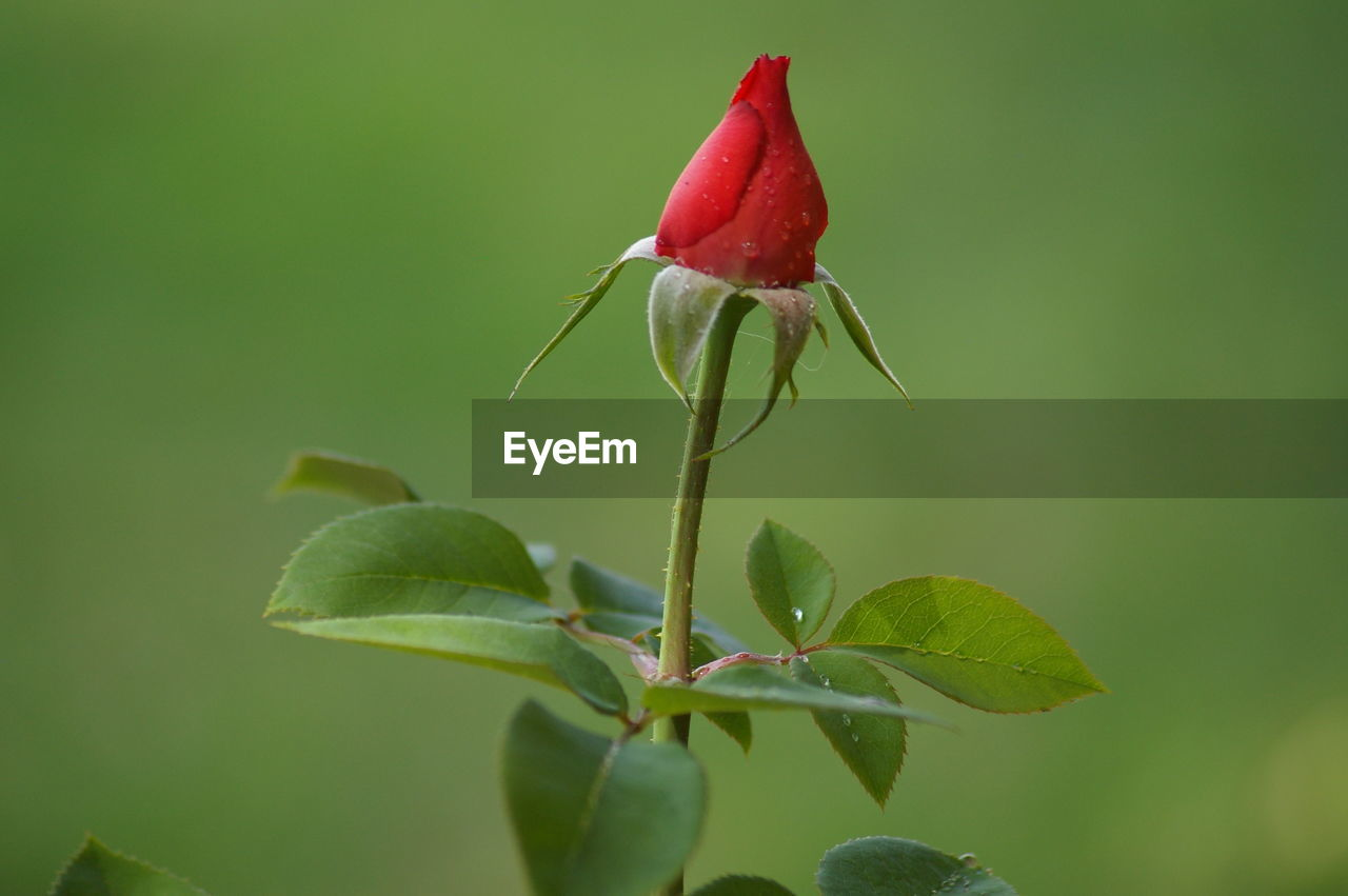 plant part, leaf, plant, growth, beauty in nature, close-up, green color, vulnerability, nature, flower, fragility, flowering plant, red, no people, freshness, rose, day, rose - flower, plant stem, focus on foreground, outdoors, sepal, flower head