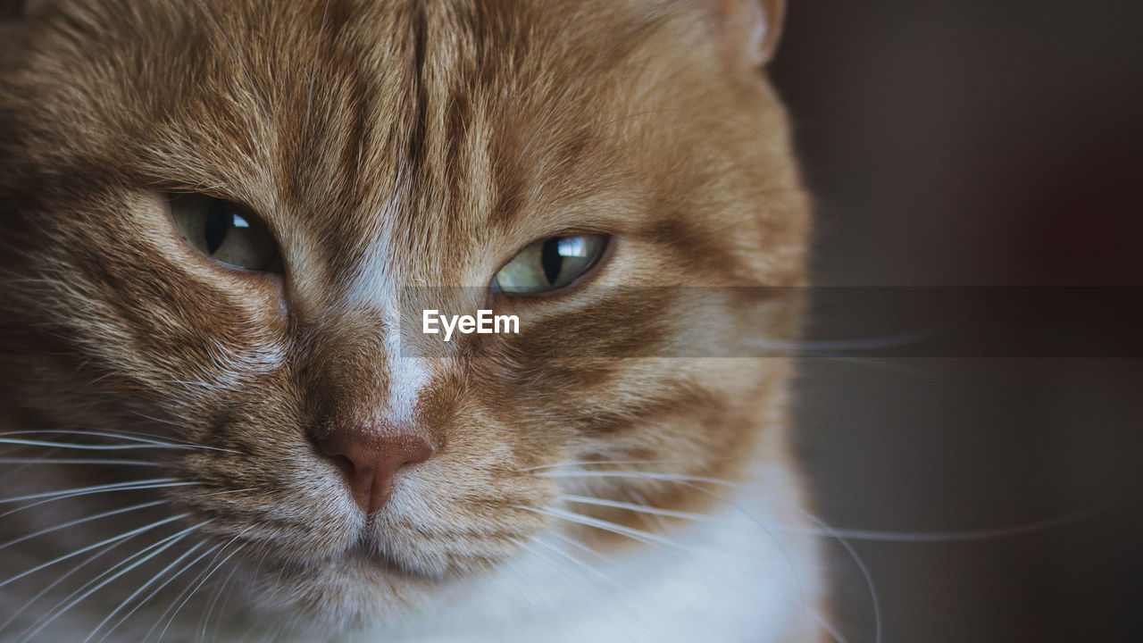 mammal, cat, animal themes, domestic, pets, animal, one animal, domestic animals, domestic cat, feline, close-up, vertebrate, whisker, animal body part, no people, animal head, portrait, looking at camera, indoors, eye, animal eye, ginger cat, snout, tabby