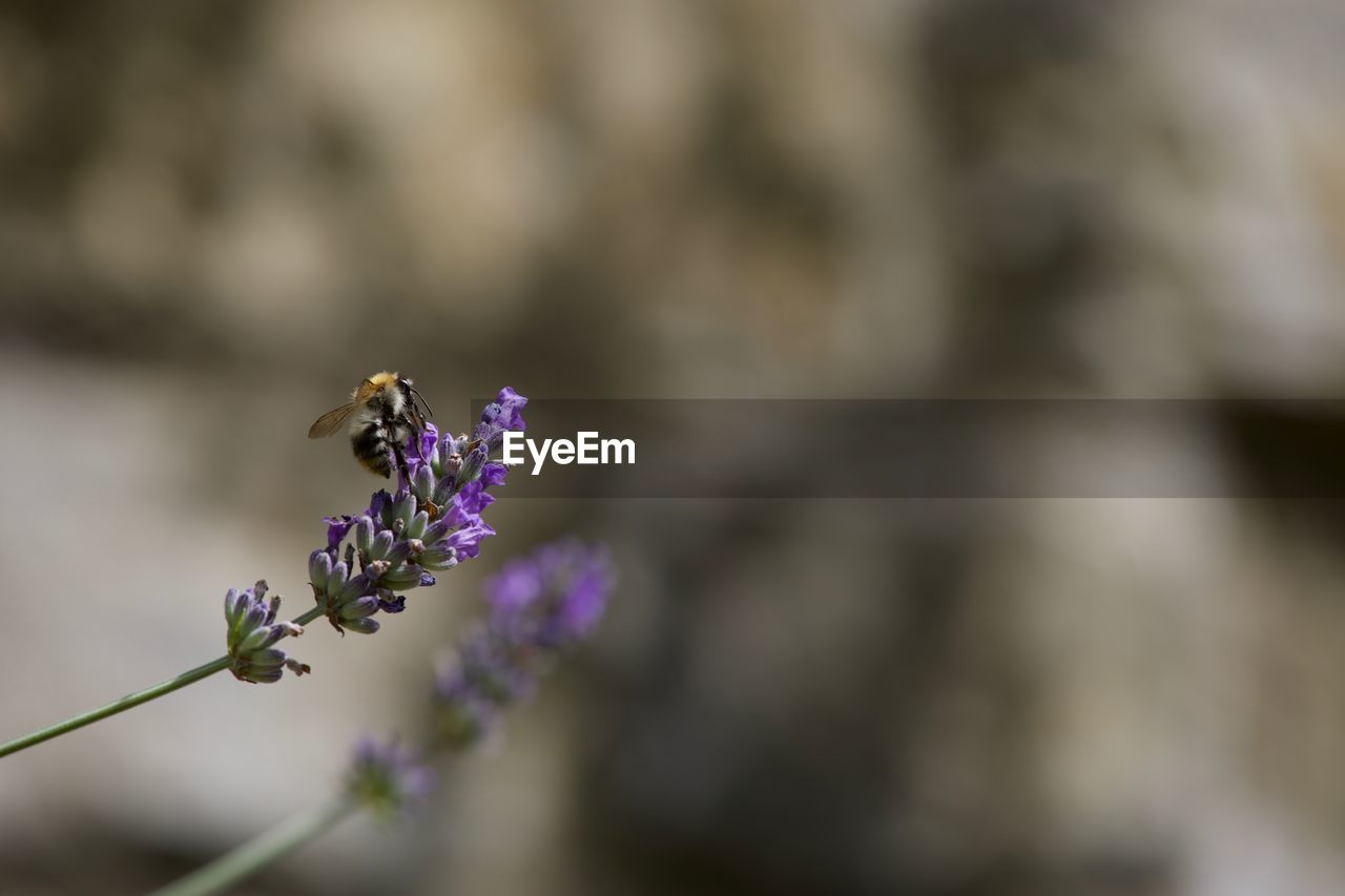 flowering plant, flower, vulnerability, fragility, beauty in nature, growth, plant, freshness, purple, animals in the wild, invertebrate, insect, petal, animal wildlife, one animal, animal, close-up, animal themes, selective focus, flower head, no people, pollination, lavender, springtime