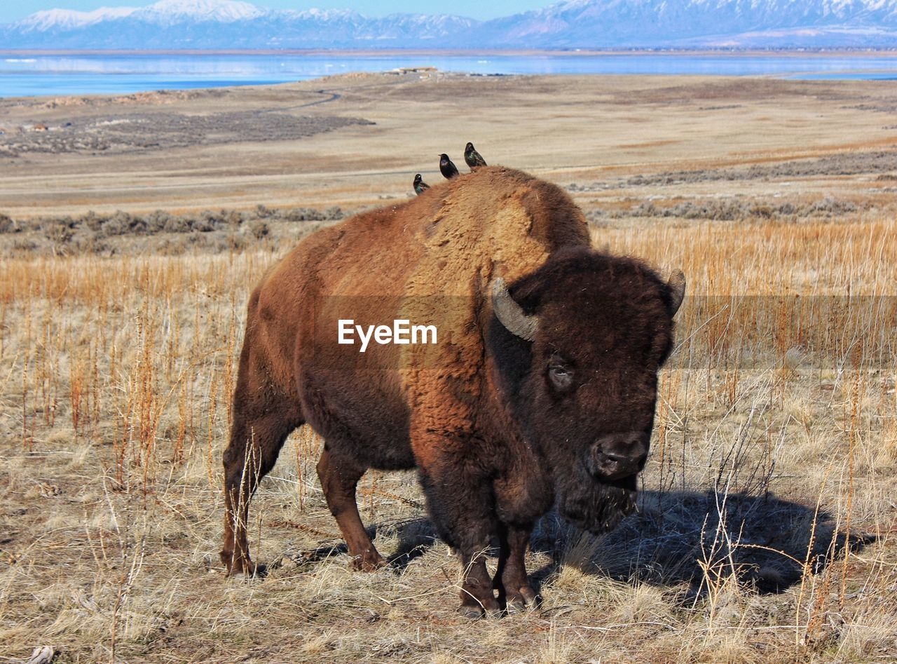 Birds perching on american bison at antelope island state park