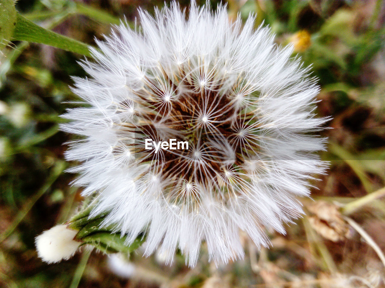 flower, dandelion, white color, nature, close-up, fragility, growth, flower head, uncultivated, no people, outdoors, day, freshness, beauty in nature