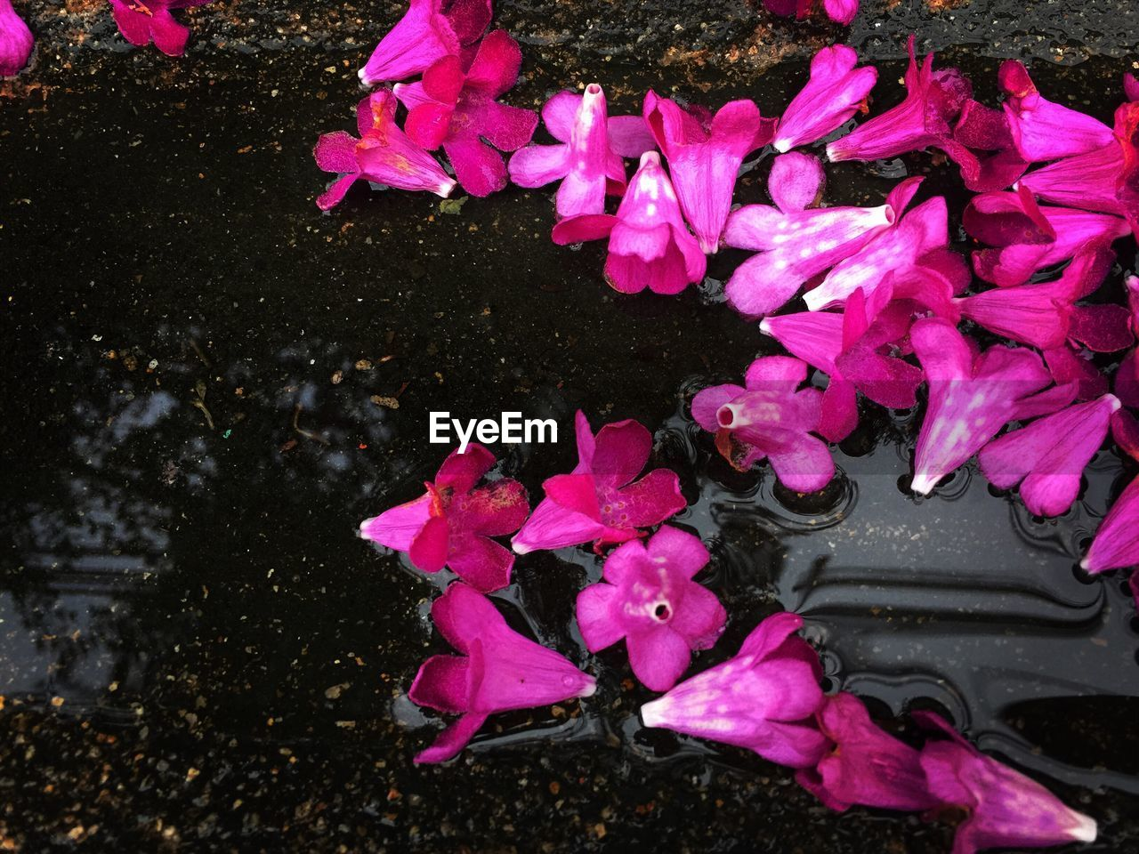 HIGH ANGLE VIEW OF PINK FLOWERS IN WATER