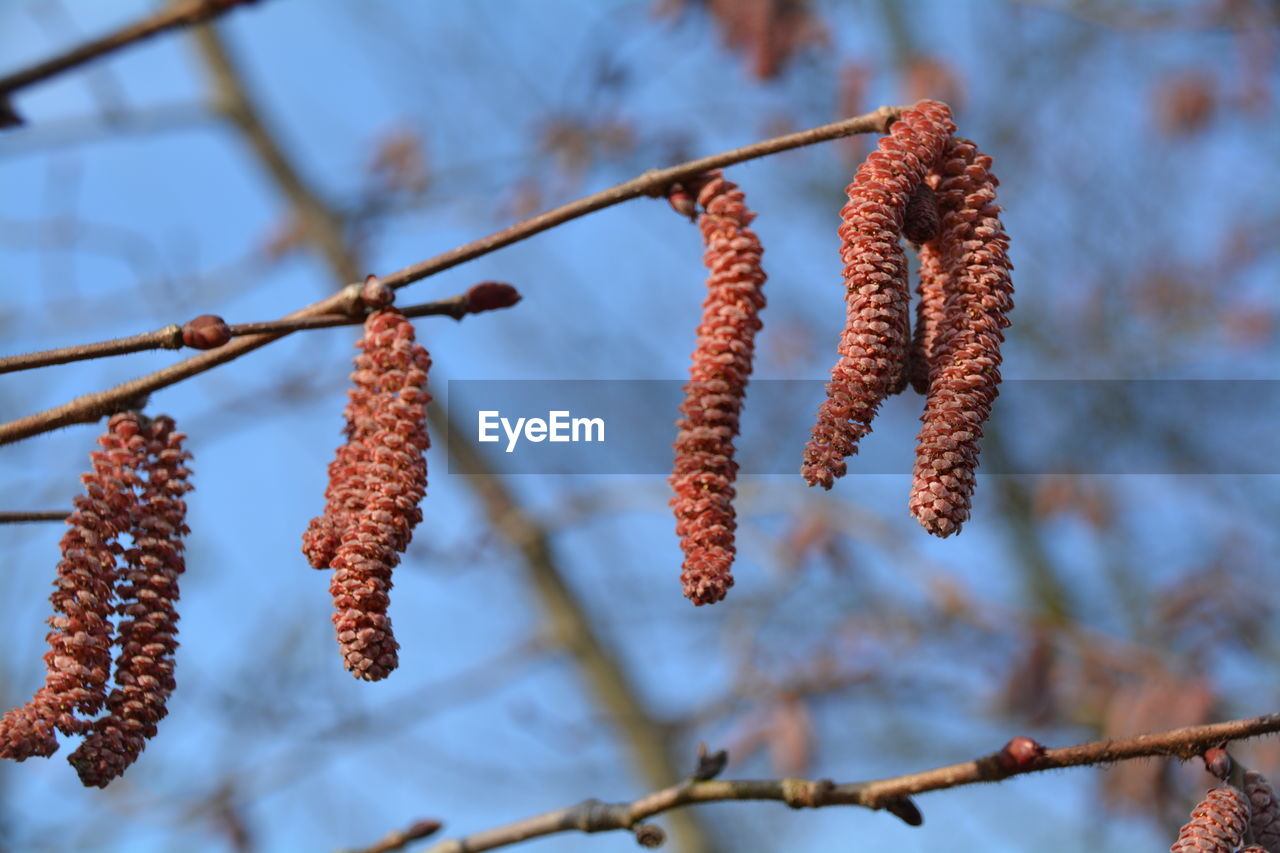 Low angle view of catkins against sky