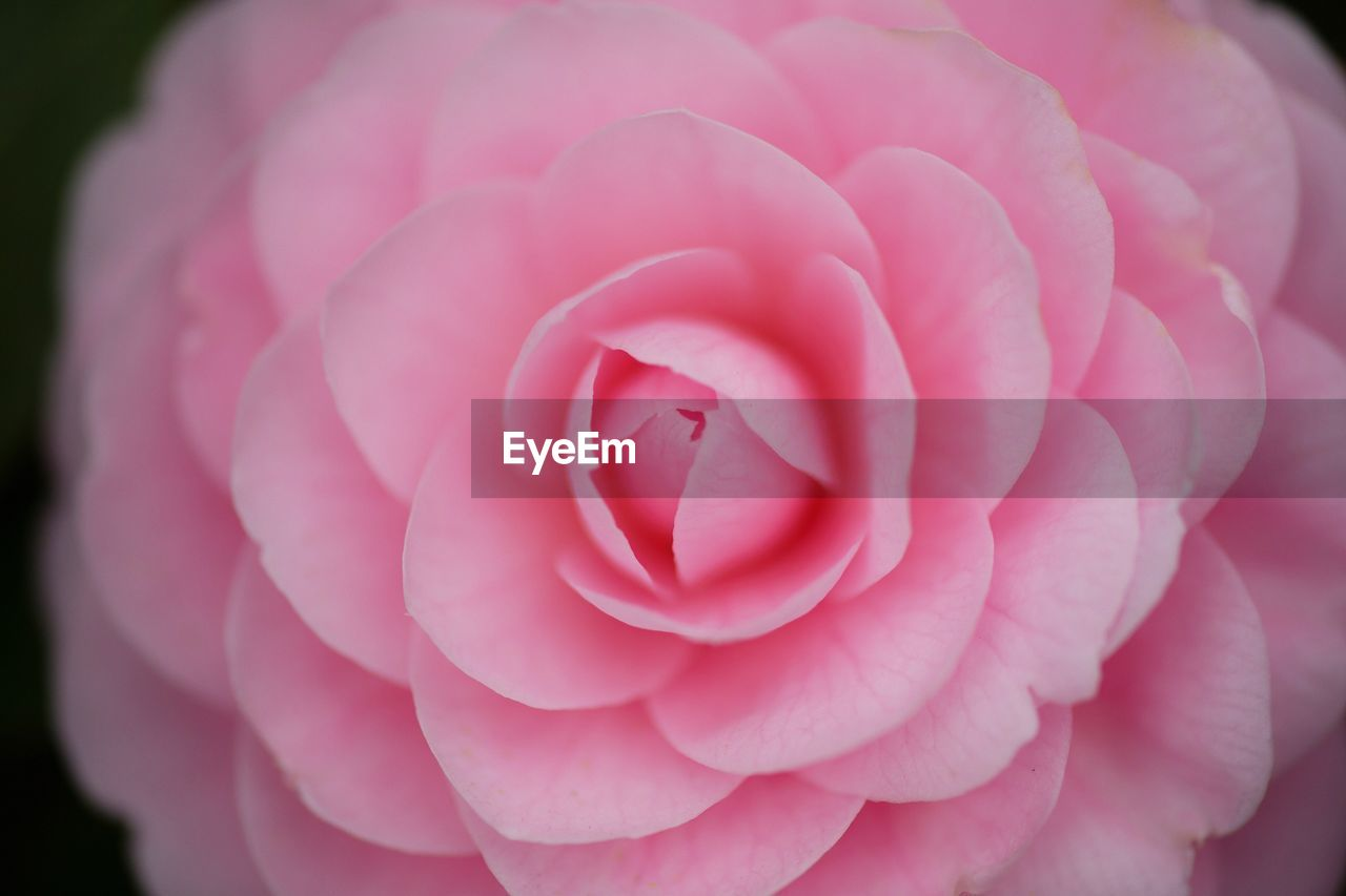 flower, pink color, petal, nature, beauty in nature, flower head, close-up, rose - flower, fragility, freshness, no people, plant, outdoors, blooming, day