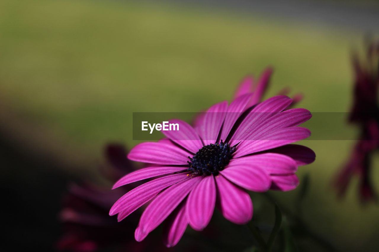 flower, petal, blooming, nature, fragility, growth, flower head, beauty in nature, plant, freshness, osteospermum, no people, outdoors, close-up, day