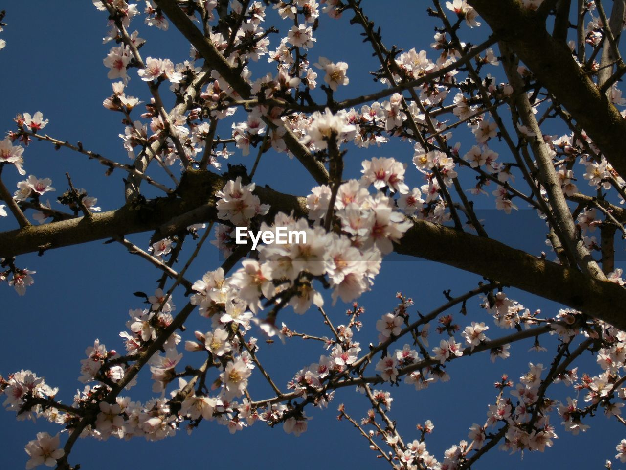Low Angle View Of Cherry Blossom Blooming Outdoors