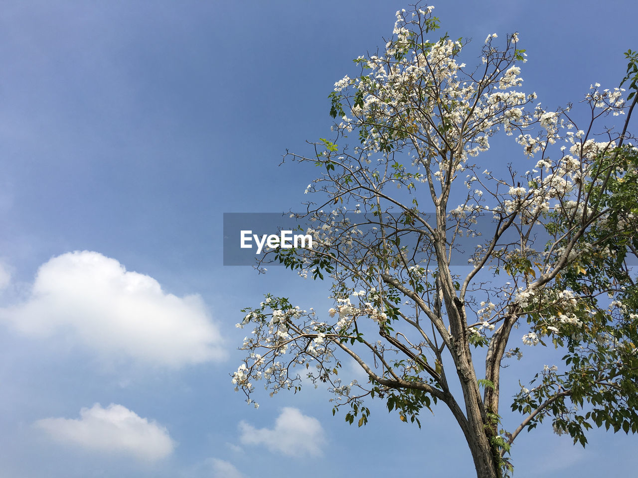 plant, sky, flower, flowering plant, beauty in nature, low angle view, tree, growth, fragility, blossom, vulnerability, freshness, day, nature, branch, white color, no people, springtime, blue, cloud - sky, outdoors, cherry blossom, flower head, cherry tree, spring