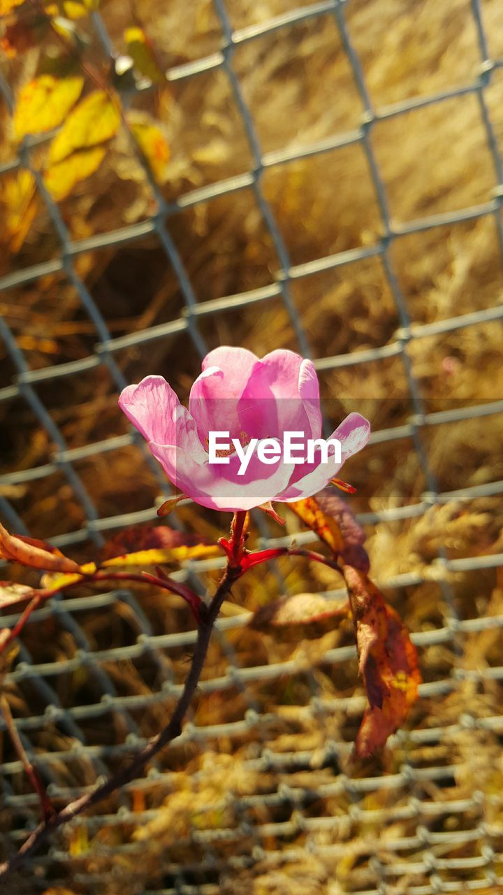 flower, growth, fragility, petal, pink color, nature, day, beauty in nature, flower head, no people, plant, outdoors, close-up, freshness, focus on foreground, blooming, leaf