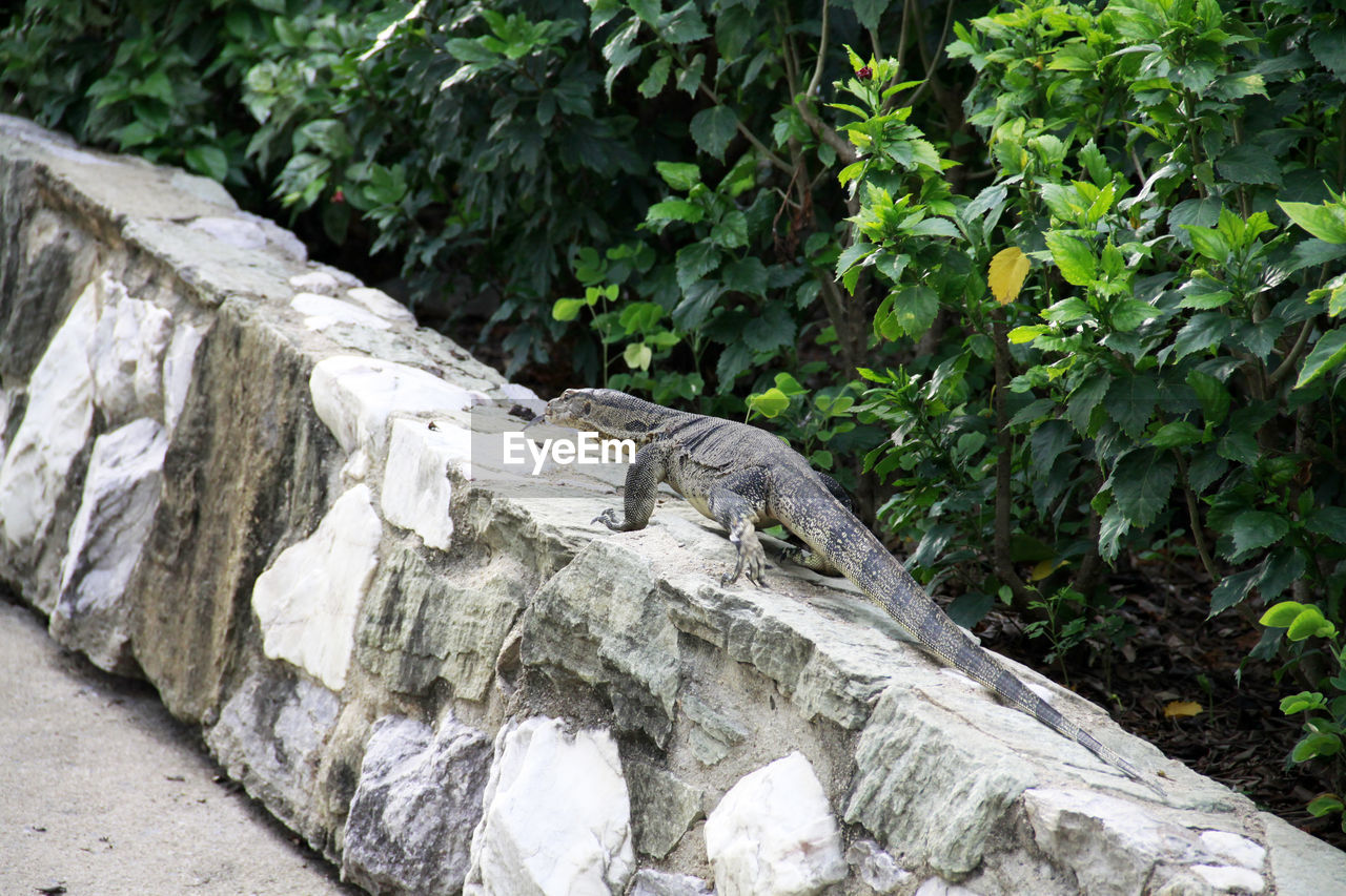 vertebrate, animal themes, animals in the wild, reptile, animal, animal wildlife, one animal, plant, lizard, no people, nature, iguana, day, growth, tree, leaf, outdoors, plant part, green color, focus on foreground