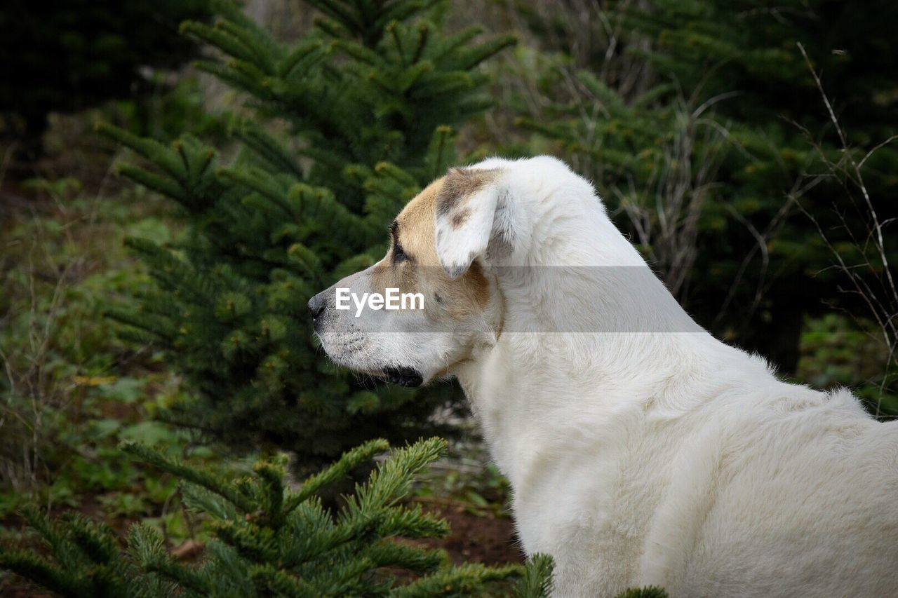 one animal, animal themes, mammal, animal, domestic, domestic animals, pets, dog, canine, vertebrate, plant, looking, no people, side view, white color, nature, looking away, land, day, animal body part, profile view, animal head