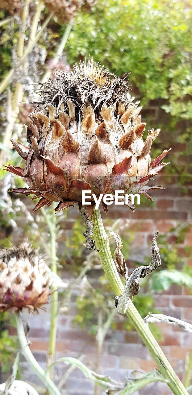 plant, close-up, focus on foreground, beauty in nature, growth, nature, day, flower, no people, fragility, vulnerability, animals in the wild, land, flowering plant, outdoors, field, dry, plant pod, animal wildlife, freshness, wilted plant, dead plant, flower head, dried